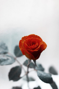 Red rose on cold background