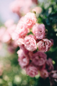 Soft blurred of roses flowers