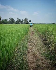 Walking Path in Green Rice Field