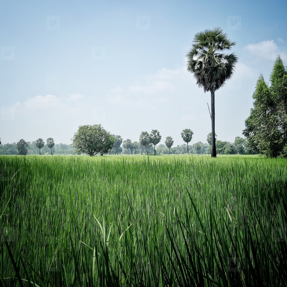 Rice field and sugar plam tree