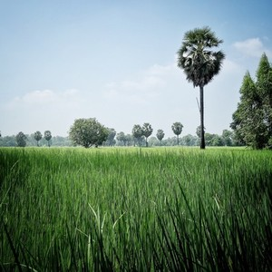 Rice field and sugar plam tree