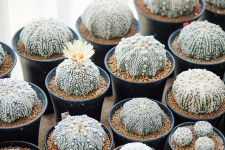 Cactus in flowerpots