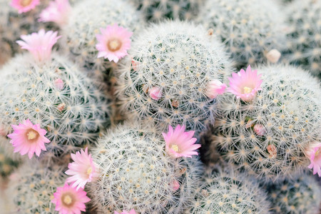 Pink flowers on cactus