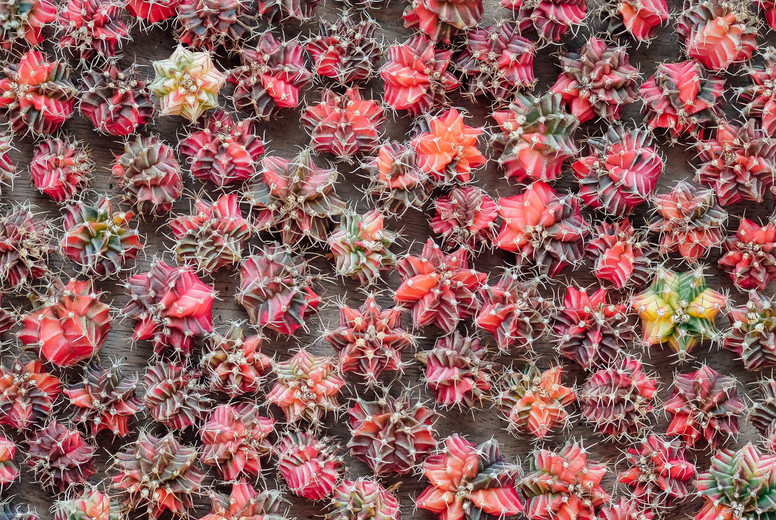 Red Cactuses