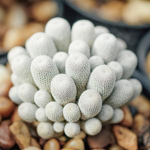 White Cactus plant