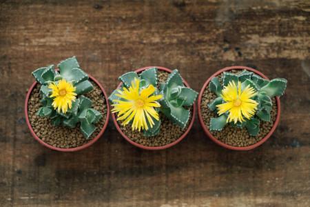 Three Yellow blossom cactuses