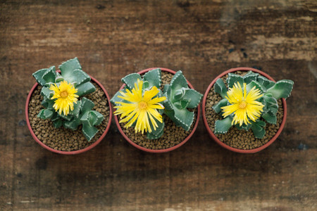 Three Yellow blossom cactuses