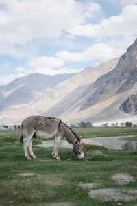 Donkey grazing on an meadow