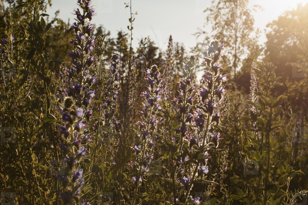 Splendour In The Grass  04