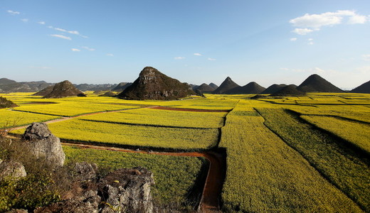 Yellow rapeseed flowers  China