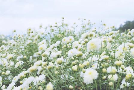 Chrysanthemum garden