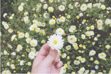 White Chrysanthemum in hand