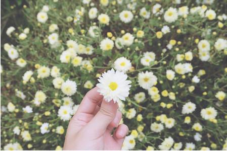 White Chrysanthemum in hand