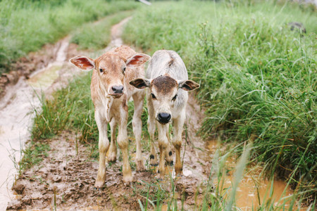 Two Baby Cows