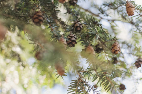 Tiny Pine Cones