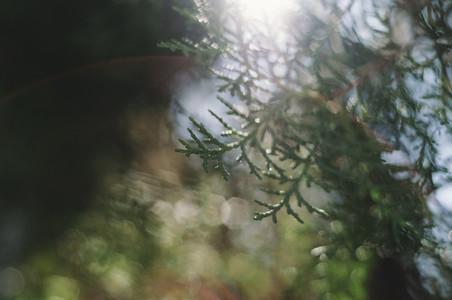 Dark Evergreen