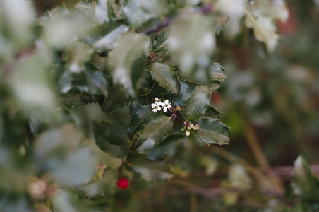 Holly Flowers