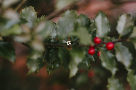 Holly Berries and Flower