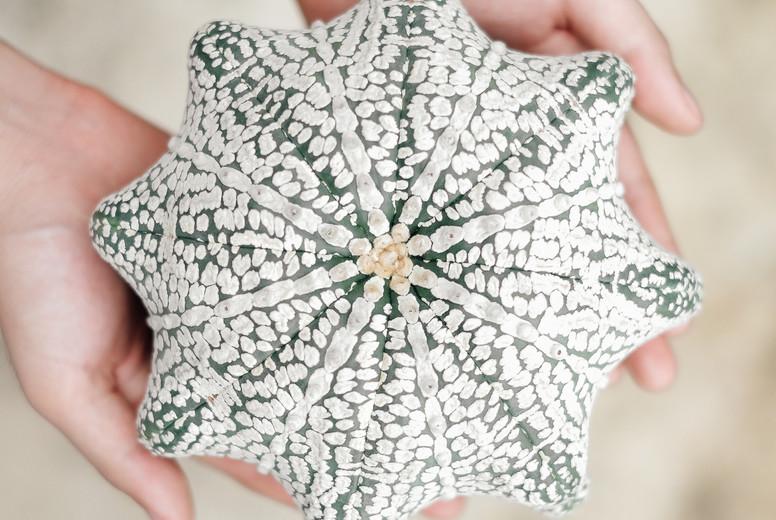 astrophytum asterias super kabut