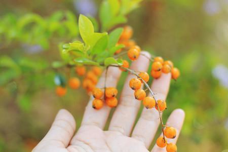 Duranta erecta fruits