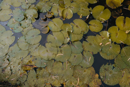 Lilly Pads