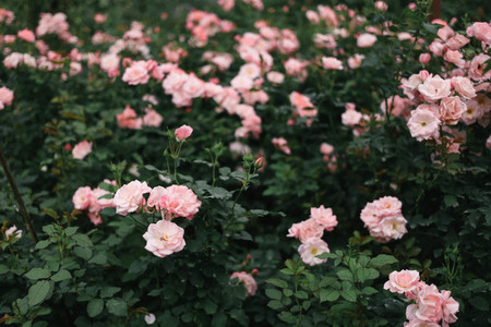 Pink roses  01