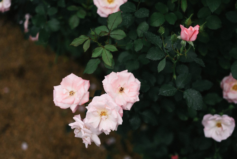 Pink roses  03