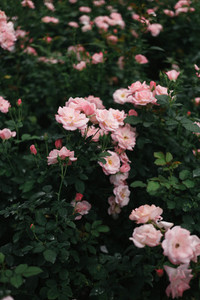 Pink roses  04
