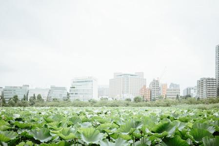 Lotuses  Ueno Park  Japan