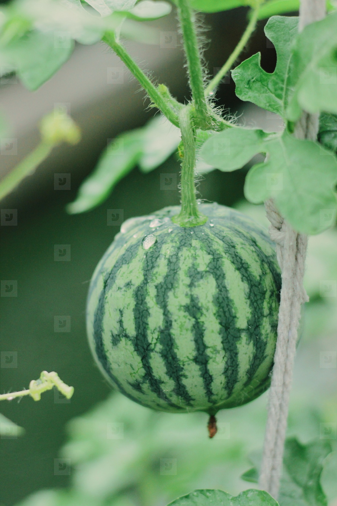 Watermelon farm  02