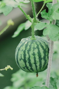 Watermelon farm 02