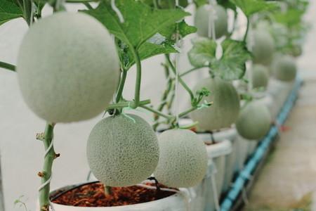Melon farm 02