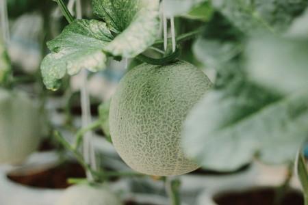 Melon farm 04