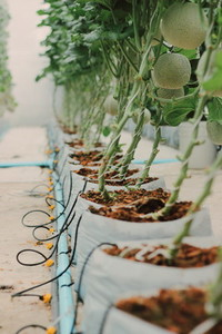 Melon farm 05