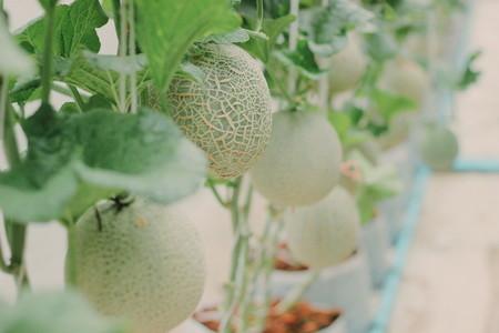 Melon farm 06