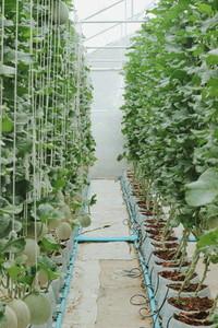 Melon farm 08