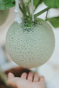 Melon farm  09