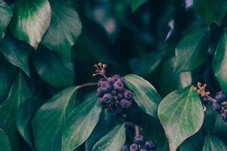 blue wild berries