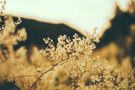soft blossom