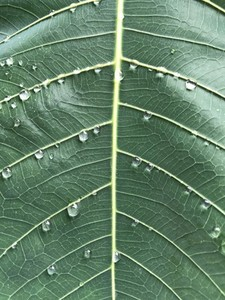 Green leaf texture with drops
