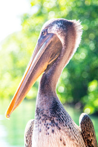 Beautiful Pelican