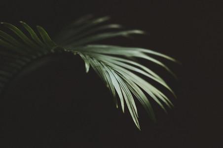 Kentia Leaves