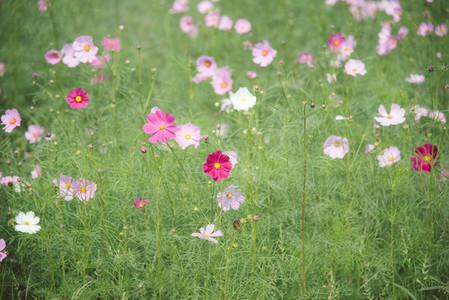 Cosmos flowers 01