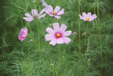 Cosmos flowers 02
