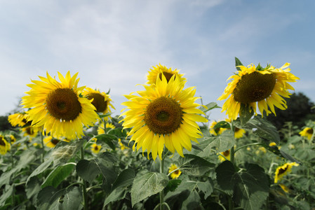 Sunflower field 01