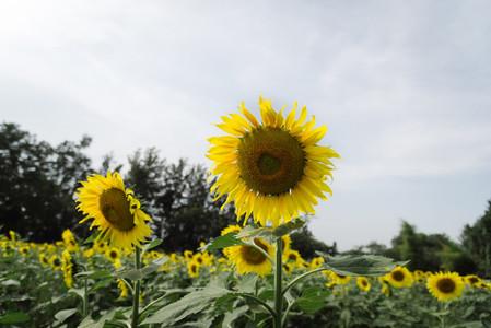 Sunflower field 02