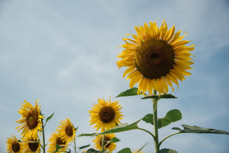 Sunflower field  03