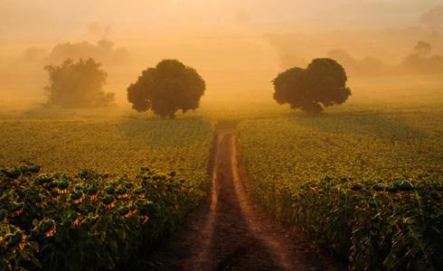 Sunflowers field 01