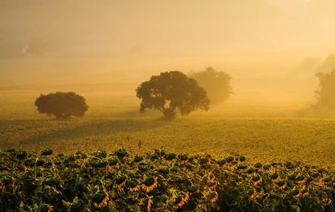 Sunflowers field 02