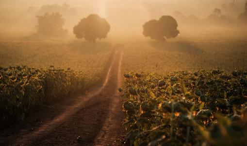 Sunflowers field 03